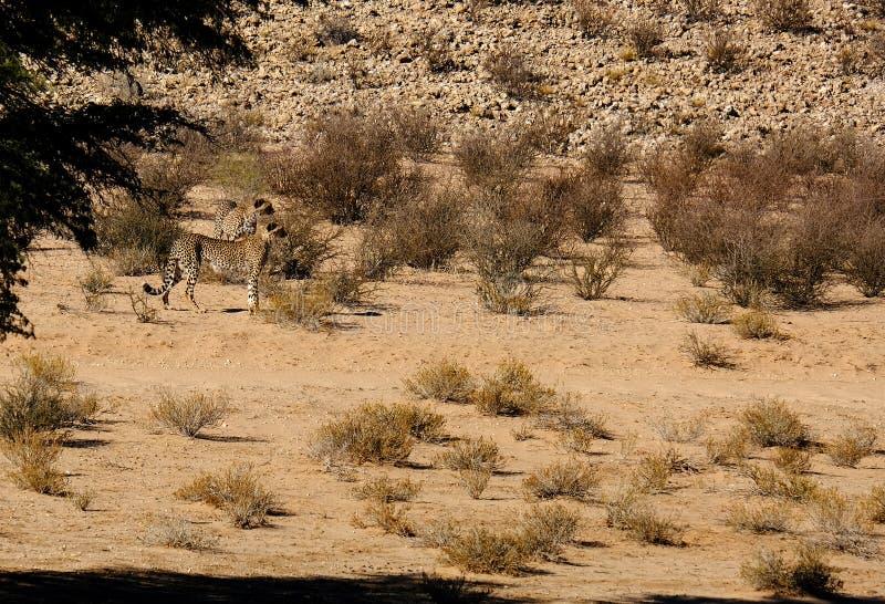 移动干旱的风景的两头猎豹在卡拉哈里沙漠在Kgalagadi境外公园b 免版税库存图片