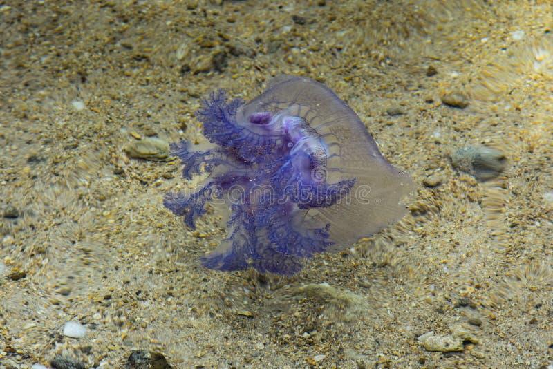 移动横跨含沙底部的紫色水母 库存照片