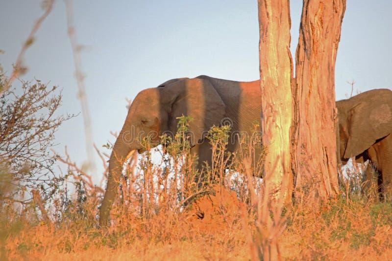 移动通过树的非洲大象在下午太阳末期 免版税库存照片