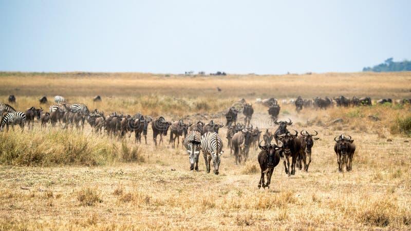 移居在肯尼亚的斑马和角马 免版税库存图片