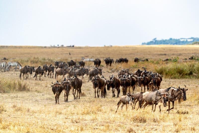 移居在肯尼亚的角马牧群 免版税库存照片