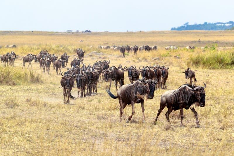 移居在非洲的角马牧群 库存图片