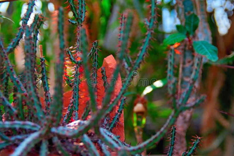 稀薄的绿色射击在橙色光芒朝阳的热带仙人掌 象鞭子的词根附生植物仙人掌 免版税图库摄影