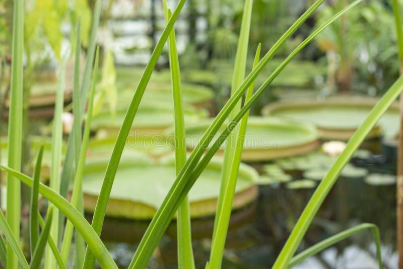 稀薄的薹在维多利亚amazonica前景和大圆的叶子离开反对背景;软的焦点 免版税库存图片