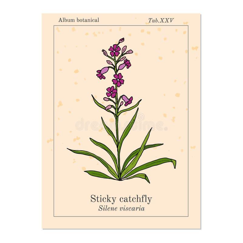 稠粘的捕虫草Silene viscaria或者阴湿黏黏的剪秋罗,药用植物 皇族释放例证