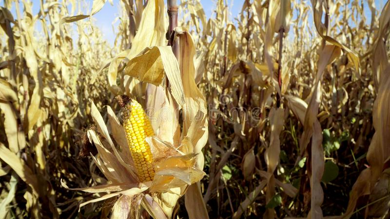 稳定沿道路的步行新鲜的玉米之间行  免版税库存照片