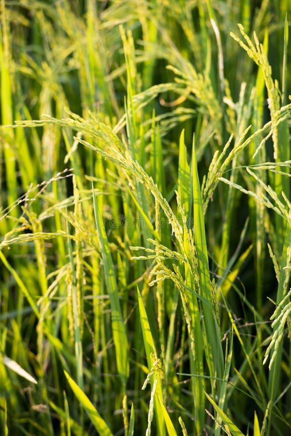 稻田上成熟 泰国北部农业 准备收获的稻 免版税库存图片