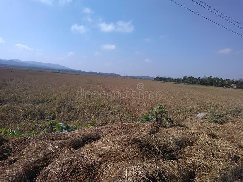 稻田在Kudus,中爪哇省 库存照片