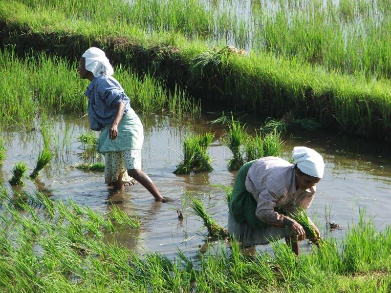 稻田的二名印第安妇女在海啸以后 免版税图库摄影
