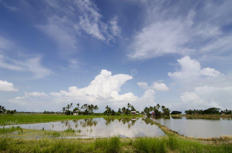 稻田美好的lanscape在收获的在蓝天背景期间 免版税库存照片