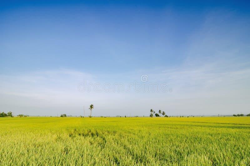 稻田美好的lanscape在收获的在蓝天背景期间 免版税库存图片