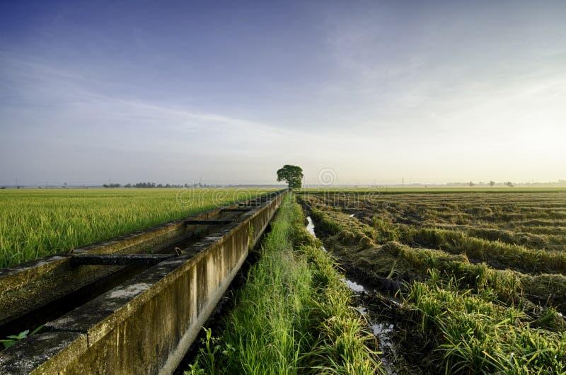 稻田美好的lanscape在收获的在蓝天背景期间 库存照片