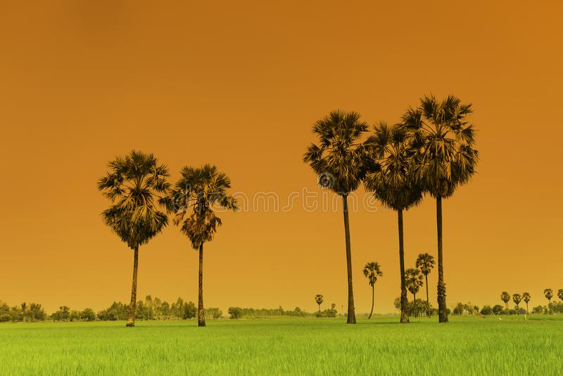 稻米和在稻堤堰的桄榔或棕榈汁树, nat 库存照片