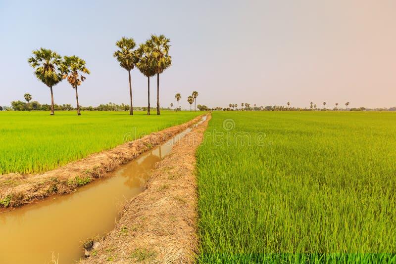 稻米和在稻堤堰的桄榔或棕榈汁树, nat 库存图片