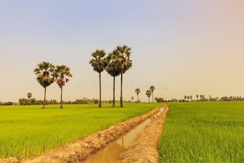 稻米和在稻堤堰的桄榔或棕榈汁树, nat 免版税图库摄影