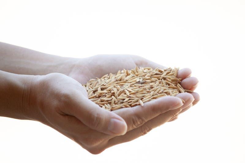 稻米在农夫手上 免版税库存照片