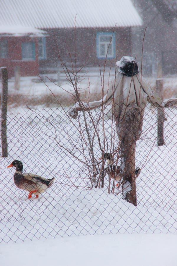 稻草人在庭院里在冬天和家养的鸭子 免版税库存图片