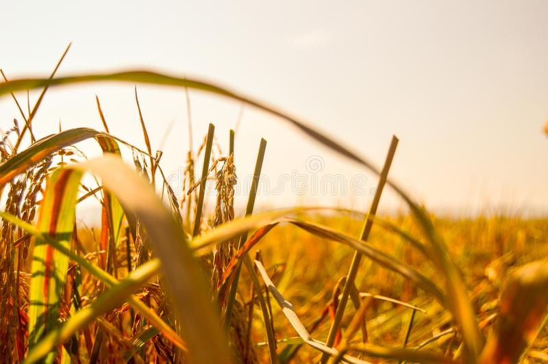 稻黄色分支和叶子  库存照片