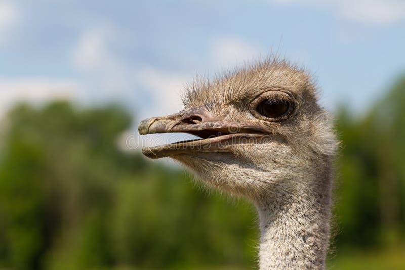 滑稽的与大眼睛和桃红色额嘴的驼鸟女性顶头特写镜头有绿色背景和选择聚焦 图库摄影