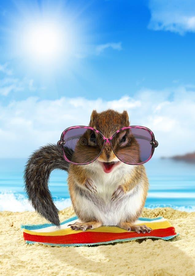 滑稽的动物暑假,在海滩的灰鼠 免版税图库摄影