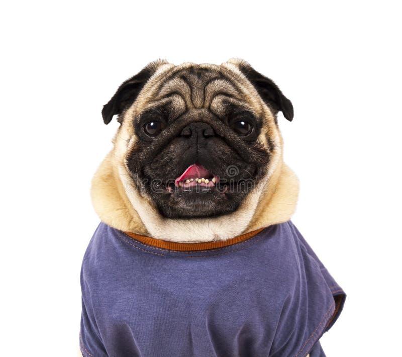 滑稽的哈巴狗画象 免版税库存照片