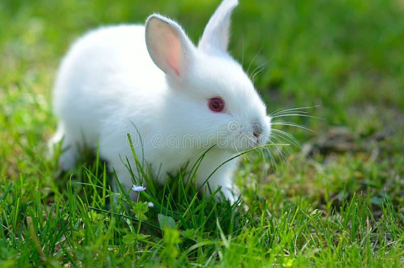 滑稽的在草的农场婴孩兔子.苍蝇,白色.魅力多少度会被热死图片