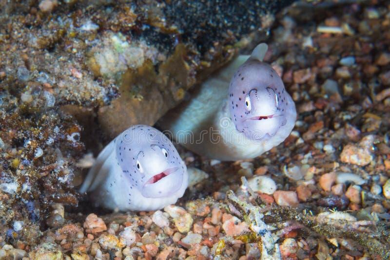 滑稽的干胡椒海鳝从一个坚硬珊瑚石峰看  免版税库存图片