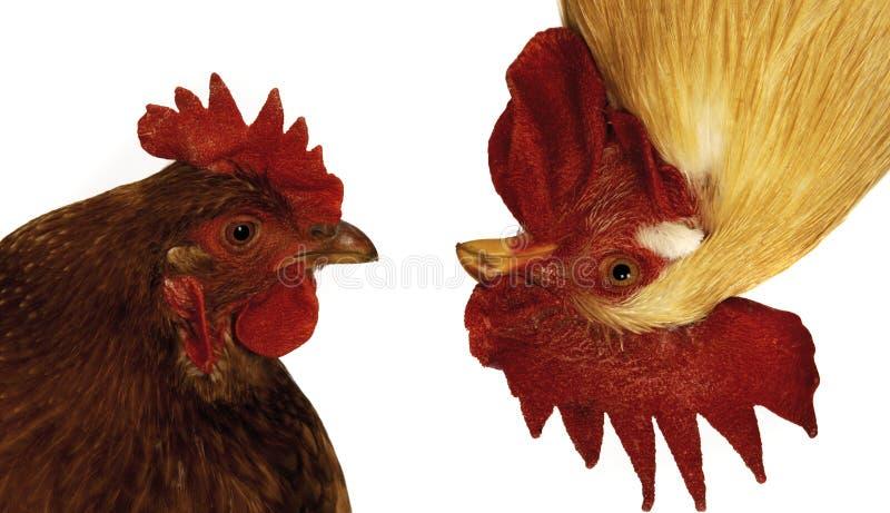 滑稽的母鸡雄鸡 免版税库存照片