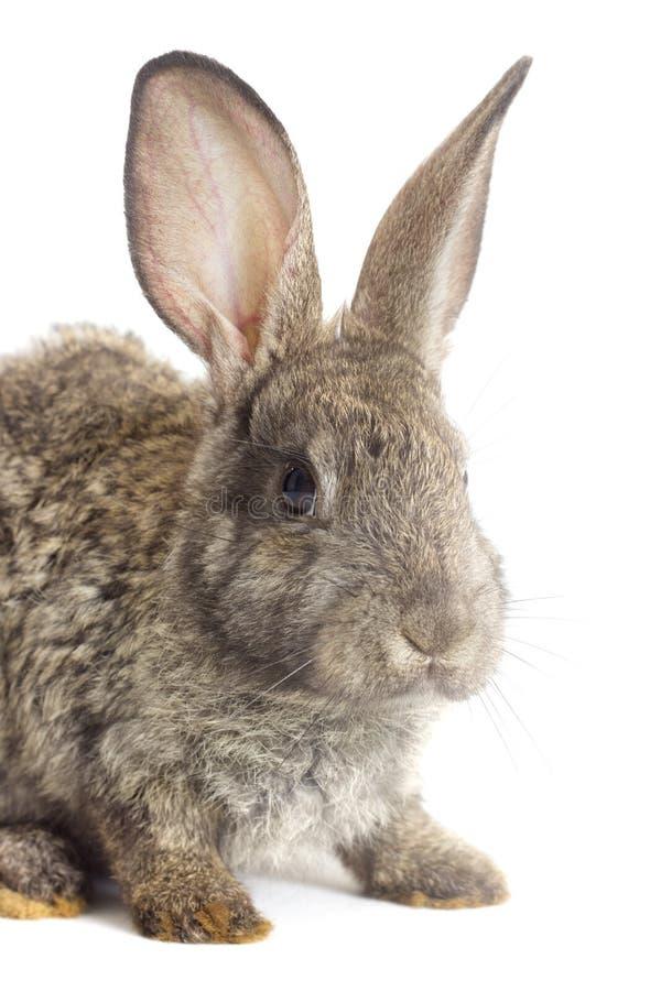 Download 滑稽的灰色兔子 库存照片. 图片 包括有 复活节, 户内, 查找, 茴香, 工作室, 开会, 兔子, 查出 - 72361280