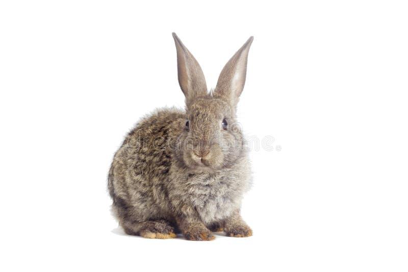 Download 滑稽的灰色兔子 库存图片. 图片 包括有 开会, 敌意, 逗人喜爱, 茴香, 工作室, 背包, 国内, 户内 - 72361375