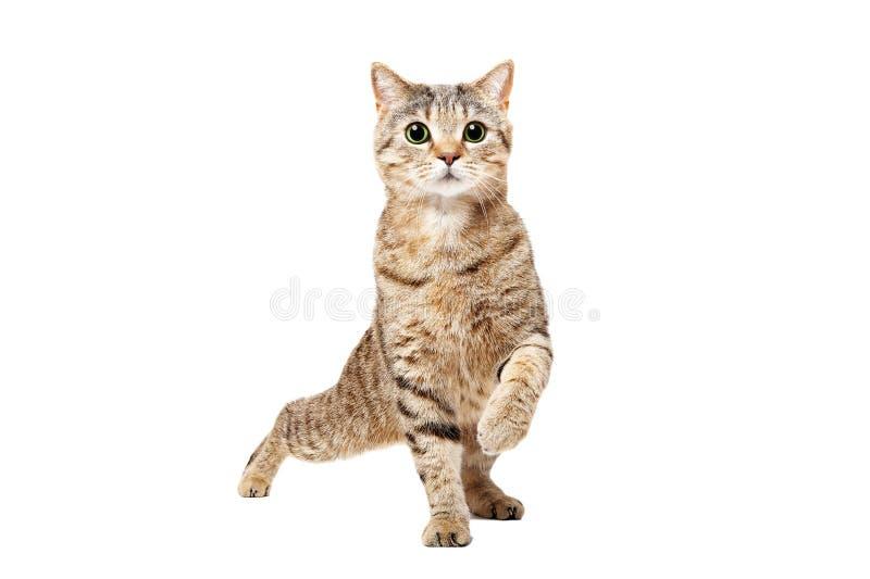 滑稽的猫苏格兰平直的跳舞 库存图片