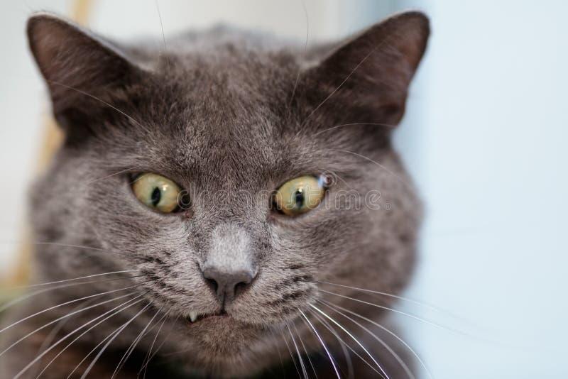 滑稽的猫面孔 免版税图库摄影
