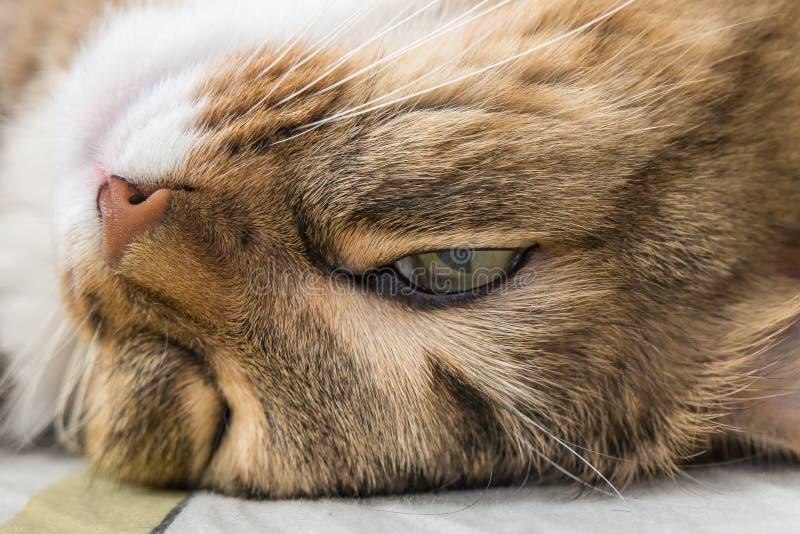滑稽的睡觉cat& x27; s面孔特写镜头照片 免版税库存图片