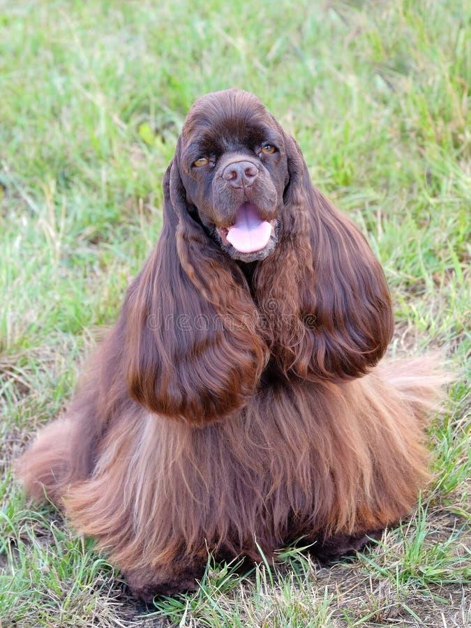 滑稽的美国美卡犬 免版税库存照片