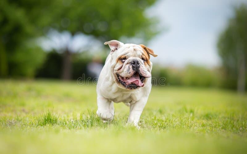滑稽的英国牛头犬赛跑 图库摄影