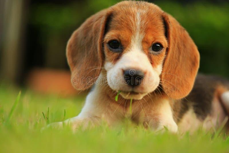 滑稽的逗人喜爱的小猎犬狗在公园 库存照片