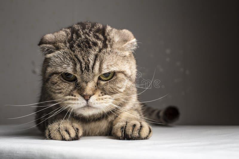 滑稽的邪恶的灰色镶边猫 免版税图库摄影