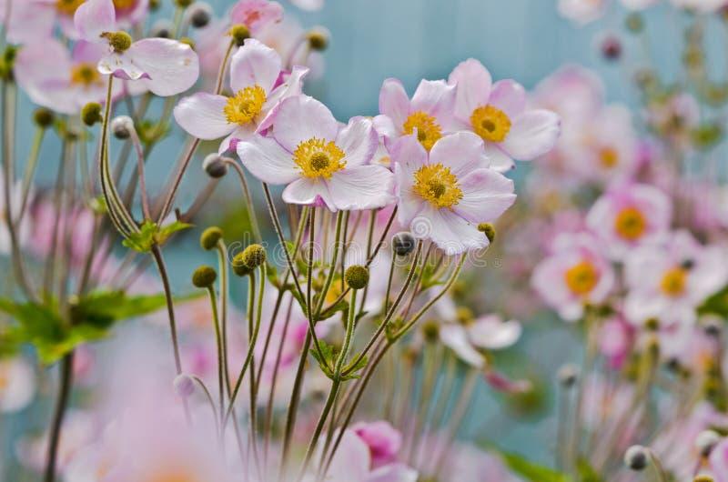 滑稽的银莲花属 库存图片
