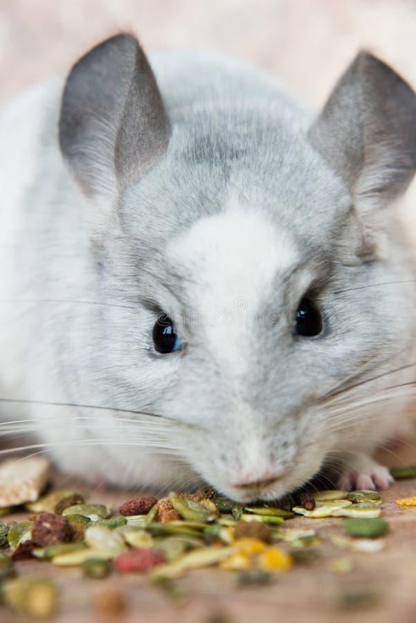 滑稽的面孔国内黄鼠嗅到的食物 免版税图库摄影