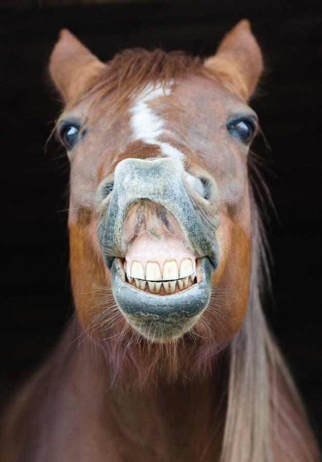滑稽的马画象 图库摄影