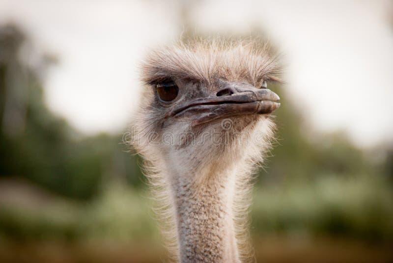滑稽的驼鸟画象  库存照片
