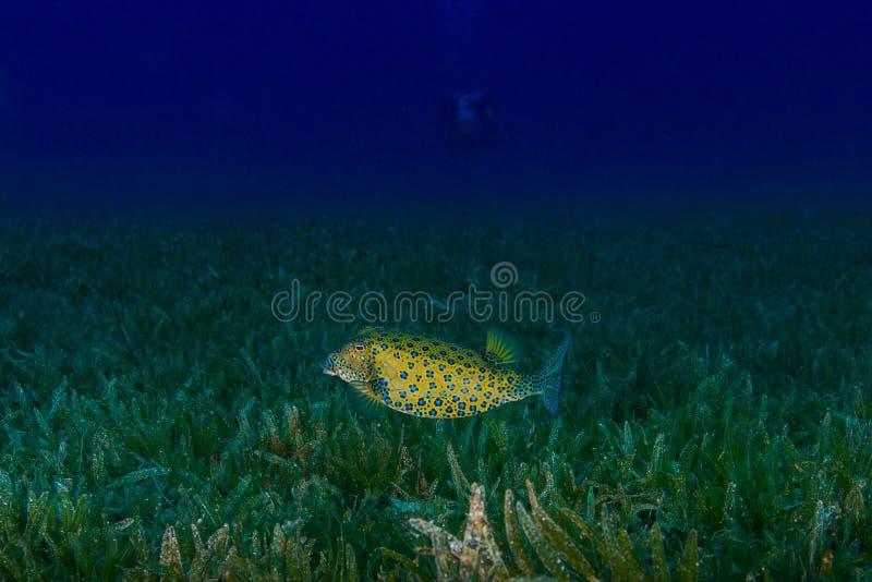 滑稽的鱼和轻潜水员 热带珊瑚礁的场面 Underwat 图库摄影