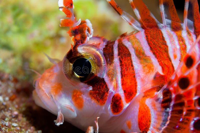 滑稽的鱼特写镜头画象 热带珊瑚礁的场面 Underwa 库存照片