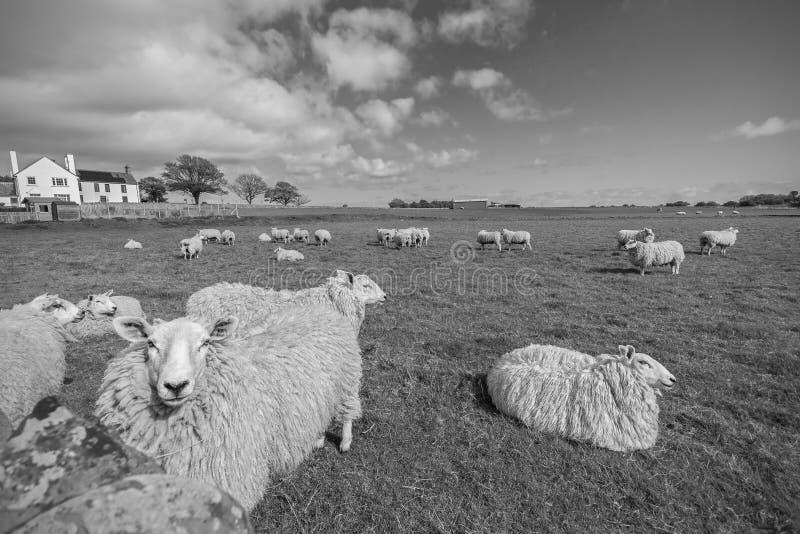 滑稽的绵羊 免版税库存照片