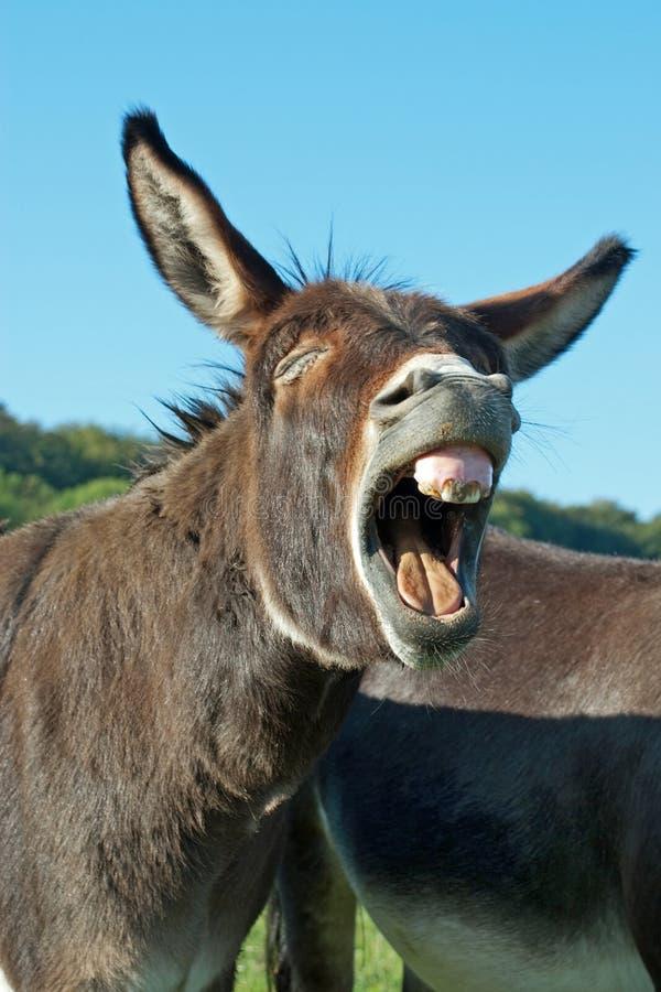 滑稽的驴 免版税库存照片