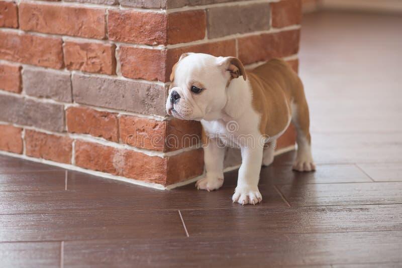 滑稽英国公牛狗睡觉红色白色小狗接近砖墙和在看对照相机的地板上 与没有的黑色的逗人喜爱的小狗 免版税库存图片