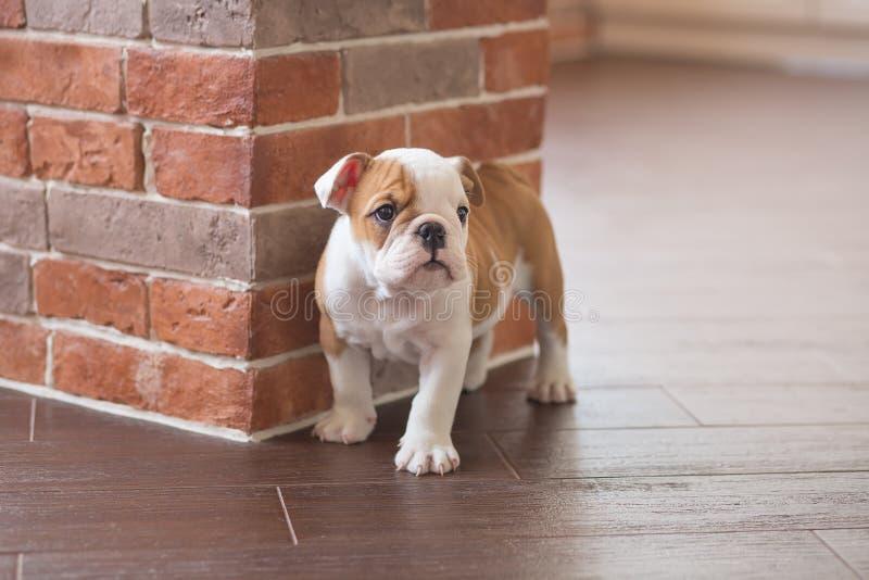 滑稽英国公牛狗睡觉红色白色小狗接近砖墙和在看对照相机的地板上 与没有的黑色的逗人喜爱的小狗 免版税图库摄影