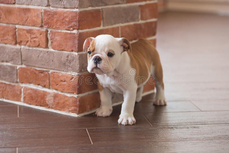 滑稽英国公牛狗睡觉红色白色小狗接近砖墙和在看对照相机的地板上 与没有的黑色的逗人喜爱的小狗 库存照片