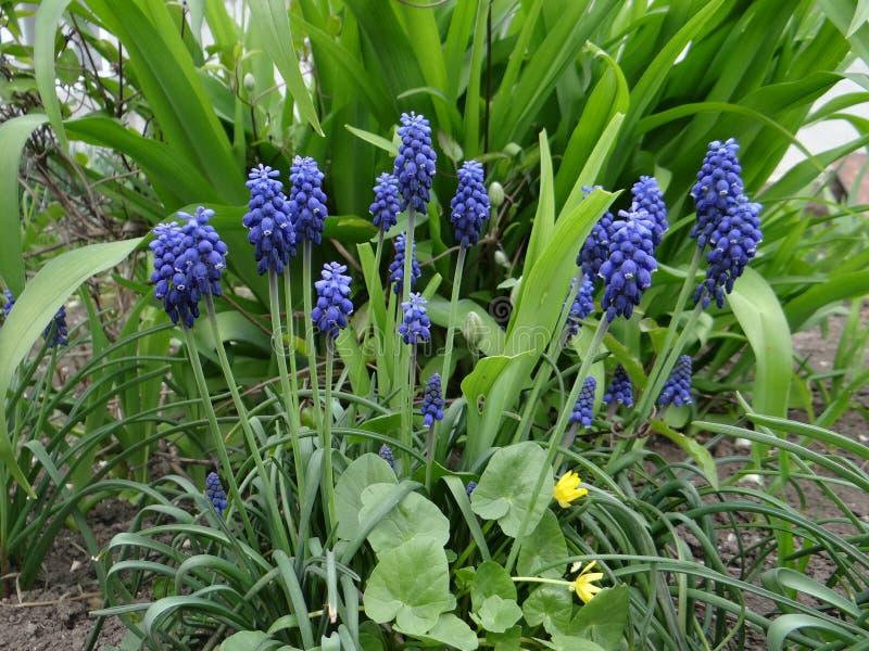 穆斯卡里精美蓝色花  库存图片