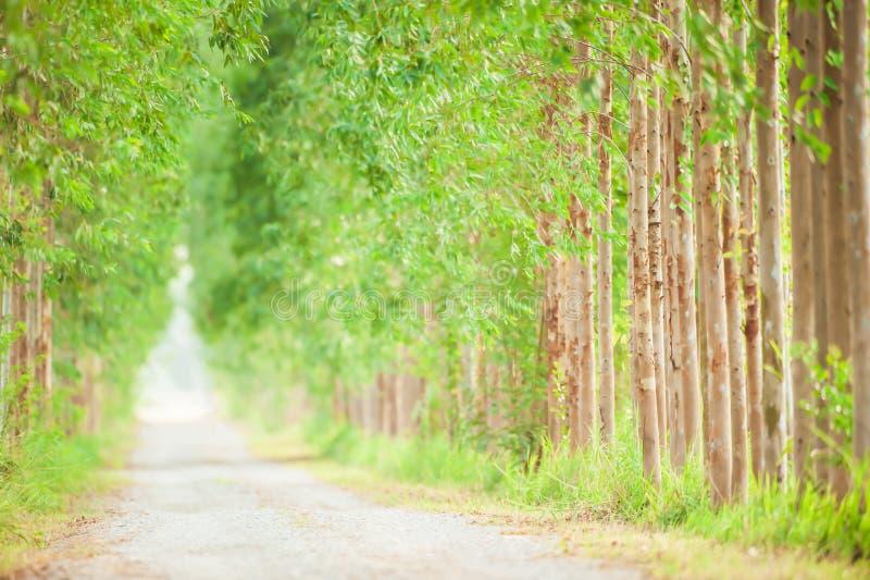 空和平静的土路,玉树线美好的形状,软的阳光在一条长的平直的土路发光 免版税库存图片